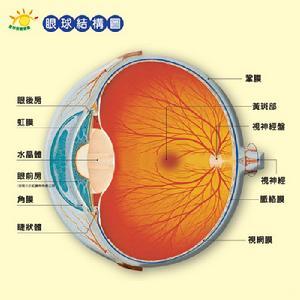 人眼球的结构中,相当于照相机镜头和光圈的分别是